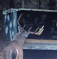 """Large White tail deer in a Double """"D"""" gravity deer feeder."""
