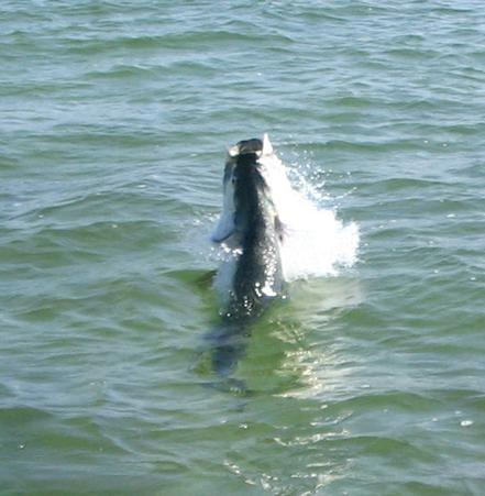 Tarpon Fishing withSigh Fish Charters