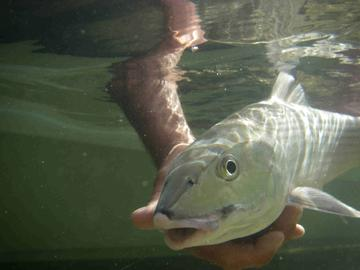 Big Pine Key Bonefish