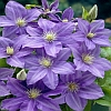 Lady Northcliffe Clematis