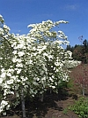 Eddie's White Wonder Flowering Dogwood