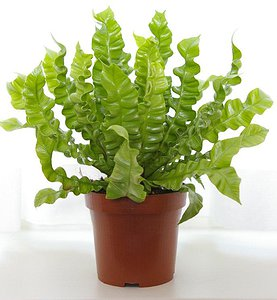 Crispy Wave Fern