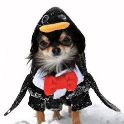 tuxedo like coat with wings and a red bow tie Penquin Dog Costume