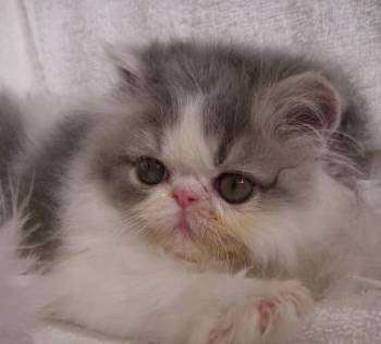 Goop, Groomer's Goop, goop to wash cats, goop to degrease Persian cat, Find Persian Cattery, Persian, Persians, Persian Cats, Find Persian Kitten In Colorado, Persian Breeder In Colorado, Persian Cats for Sale, Persian Cat, Persian Kittens, Persian Kitten, Persian Cat Breeder, Persian Cat Breeders, Persian Cat Breeder In Colorado, Persian Kitten Breeder In Colorado, Cat Breeder, Cat Breeders, Cattery, Cat, Cats, Kitten, Kittens, Persian grooming, Grooming a Persian cat, Cat grooming tips, kittens for sale, cats for sale, find a reputable breeder, feline information, facts about euthanasia, separation anxiety, litter box issues, feline behavior, feline health information, spay and neuter information, new kitten introduction, basic kitten supplies, getting a new kitten, coping with pet loss