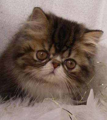 Persian Cats, Exotic Shorthair, Persian Kittens, Find