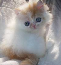 Doll faced - Traditional Baby Doll faced Persian kitten