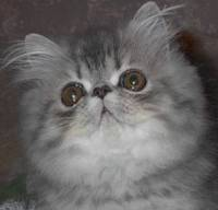 Extremed Face - Flat face Persian kitten