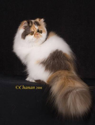 Find Persian Cattery, Persian, Persians, Persian Cats, Find Persian Kitten In Colorado, Persian Breeder In Colorado, Persian Cats for Sale, Persian Cat, Persian Kittens, Persian Kitten, Persian Cat Breeder, Persian Cat Breeders, Persian Cat Breeder In Colorado, Persian Kitten Breeder In Colorado, Cat Breeder, Cat Breeders, Cattery, Cat, Cats, Kitten, Kittens, Persian grooming, Grooming a Persian cat, Cat grooming tips, kittens for sale, cats for sale, find a reputable breeder, feline information, facts about euthanasia, separation anxiety, litter box issues, feline behavior, feline health information, spay and neuter information, new kitten introduction, basic kitten supplies, getting a new kitten, coping with pet loss